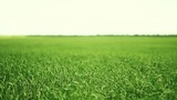 Field of a green grass