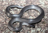 Cryptophis nigrescens is an elapid snake described by Günther in 1862. Its common names include small-eyed snake and eastern small-eyed snake.