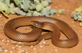 Suta suta is a species of snakes of the family Elapidae.
