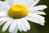 chamomile flower closeup
