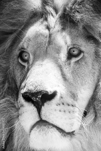 Wild Lion King Feline In Safari Portrait