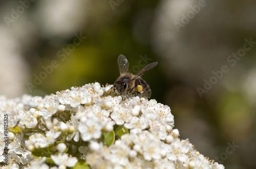 Poster abeille sur une fleur blanche