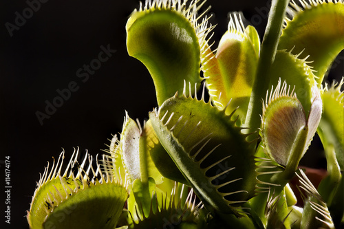 Venus Flytrap plant Poster