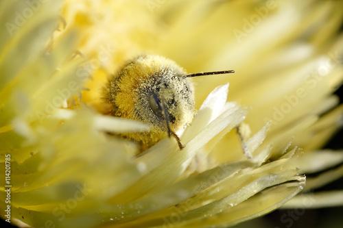 Zdjęcia na płótnie, fototapety, obrazy : Bee covered in pollen