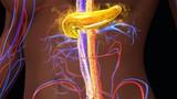 Pancreas secreting insulin