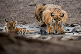 Royal bengal tiger, Panthera tigris tigris, beautiful tiger family drinks by the watter in the nature habitat, mother and cub, Ranthambhore national park, India