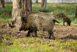 BELOVEZHSKAYA PUSHCHA, BELARUS - MAY, 2013: The wild boar in the