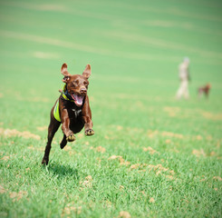 Running dog on hunt, german shorthair pointer, hunting pointer, dog with green vest