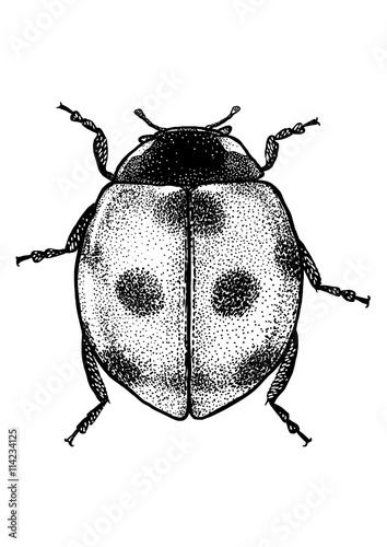 engraved, drawn illustration, Marybeetle, Ladybug, Ladybeetle,