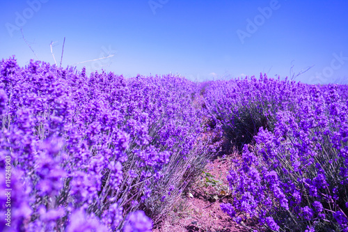 mata magnetyczna Blossoming lavender field
