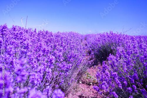 obraz lub plakat Blossoming lavender field
