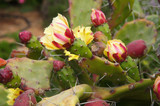 Prickly pear blossoming