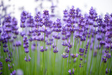 Meadow of lavender. Nature composition. Selective focus - 114260760