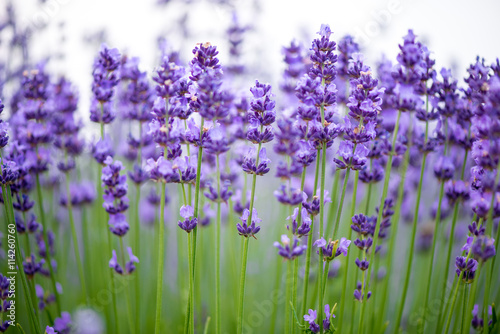 Aluminium Lavendel Meadow of lavender. Nature composition. Selective focus