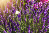 Lavender with butterfly and sunshine - 114272559