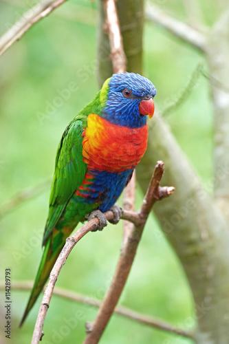 obraz lub plakat Rainbow lorikeet (Trichoglossus moluccanus)