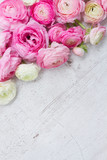 Fototapety Pink and white ranunculus flowers
