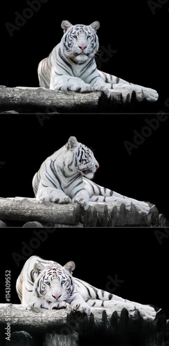 Foto op Canvas Panter White the Bengal tiger