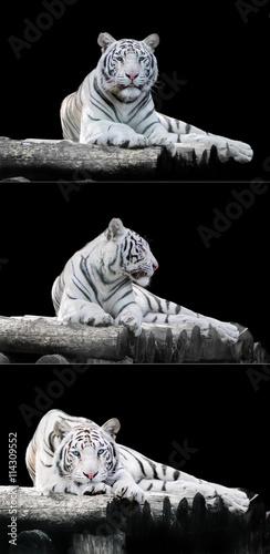 Foto op Plexiglas Panter White the Bengal tiger