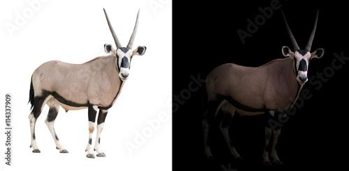 Plakat oryx or gemsbok in dark background