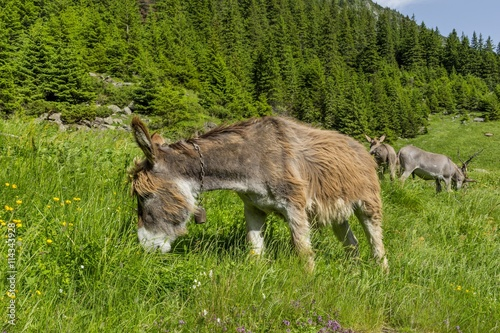 Poster Ezel Beautiful brown colored donkey grazing in the bright green grass on a sunny day in the Carpathian Mountains