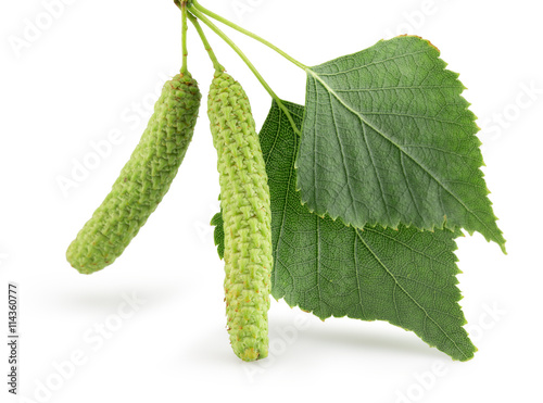 green birch buds isolated on the white background - 114360777