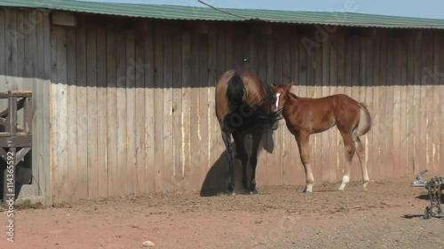 Zdjęcia na płótnie, fototapety, obrazy : Foal at the farm in summer morning
