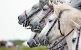 camargue horses closeup