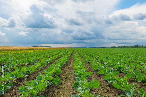 Field with vegetables in summer
