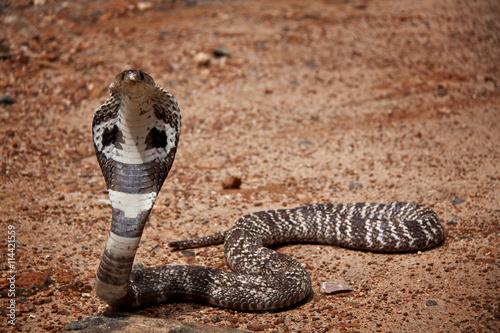 Kobra auf Sri Lanka Poster