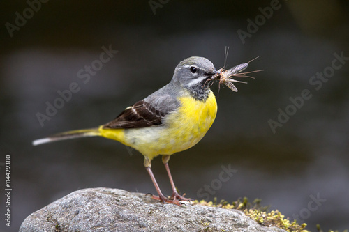 mata magnetyczna Grey Wagtail with chicks
