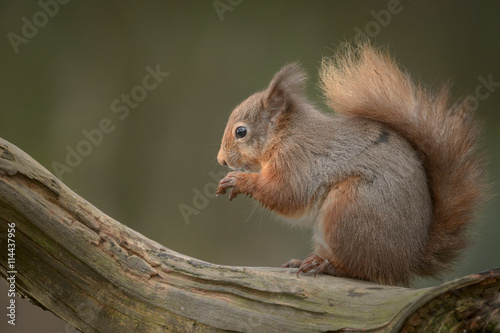 Fototapety, obrazy : Red Squirrel