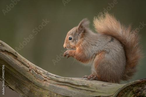 Zdjęcia na płótnie, fototapety na wymiar, obrazy na ścianę : Red Squirrel