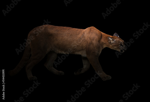 Poster puma (Panthera onca) in the dark