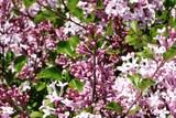Lilac flowers, purple Close-up  - 114463769