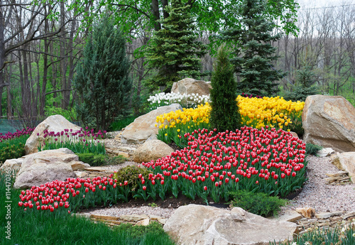 Beautiful two colored, red and white tulips flowerbed