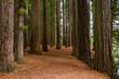 Redwood Grove in Hamurana Springs, Rotorua New Zealand.
