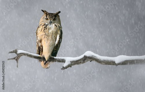 A Eurasian Eagle Owl perched on a branch.