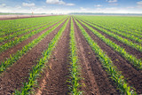 Fototapety Rows of corn field in  in springtime. Horizontal view in perspec