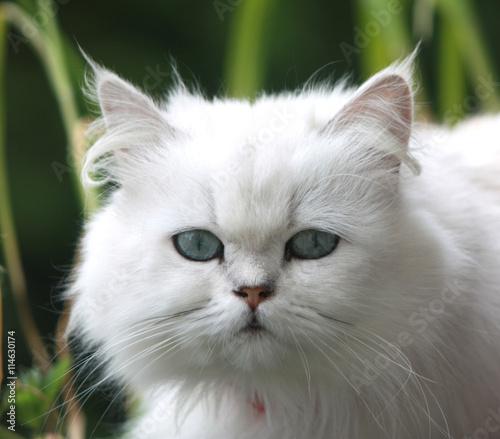 Naklejka Chat blanc