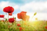 Fototapety Poppies field in rays sun.