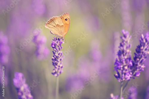 obraz PCV Butterfly on lavender flower