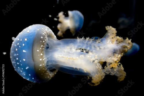 jellyfish isolated on black sea close up detail