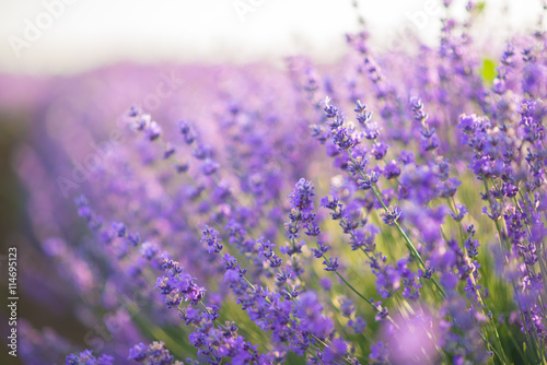 Fototapeta  Close up of lavender flowers in a lavender field under the sunrise light