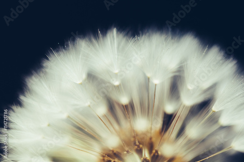 part of dandelion flower on dark background