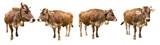 set of isolated brown cows on white backgrund / Set brauner Kühe isoliert auf weißem Hintergrund - 114770393