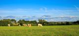 Vaches au pré > France
