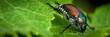 Japanese Beetle eating raspberry leaves