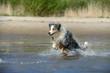 Ein Australian Shepherd springt voller Lebensfreude durch das blaue Wasser