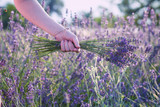 female hand holding lavender flowers, hand touching lavender, feeling nature